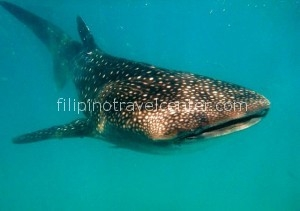 Whaleshark encounter Philippines
