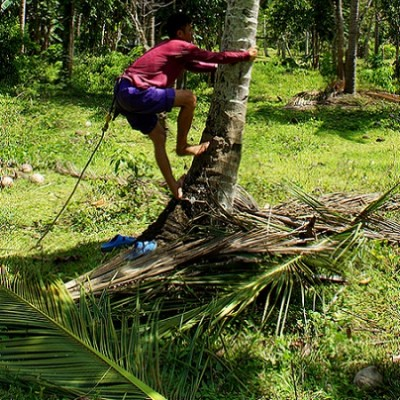 Coconut tree climbing skills