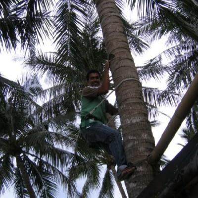 skillful harvesting coconuts