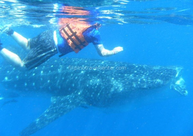 Whale shark encounter in Donsol