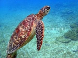 Turtle Apo island Philippine Travel