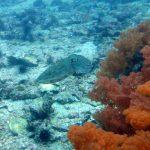 squid-gato-island-reef-malapascua-island-cebu-philippines