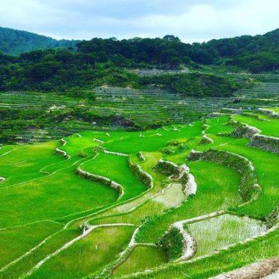 maligcong rice
