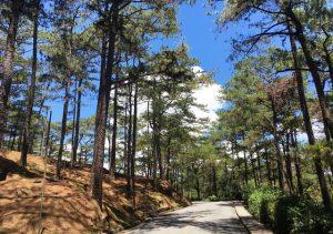 Baguio Pine Trees