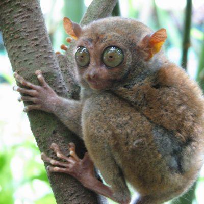 Bohol_Tarsier -Smallest Primates Philippines