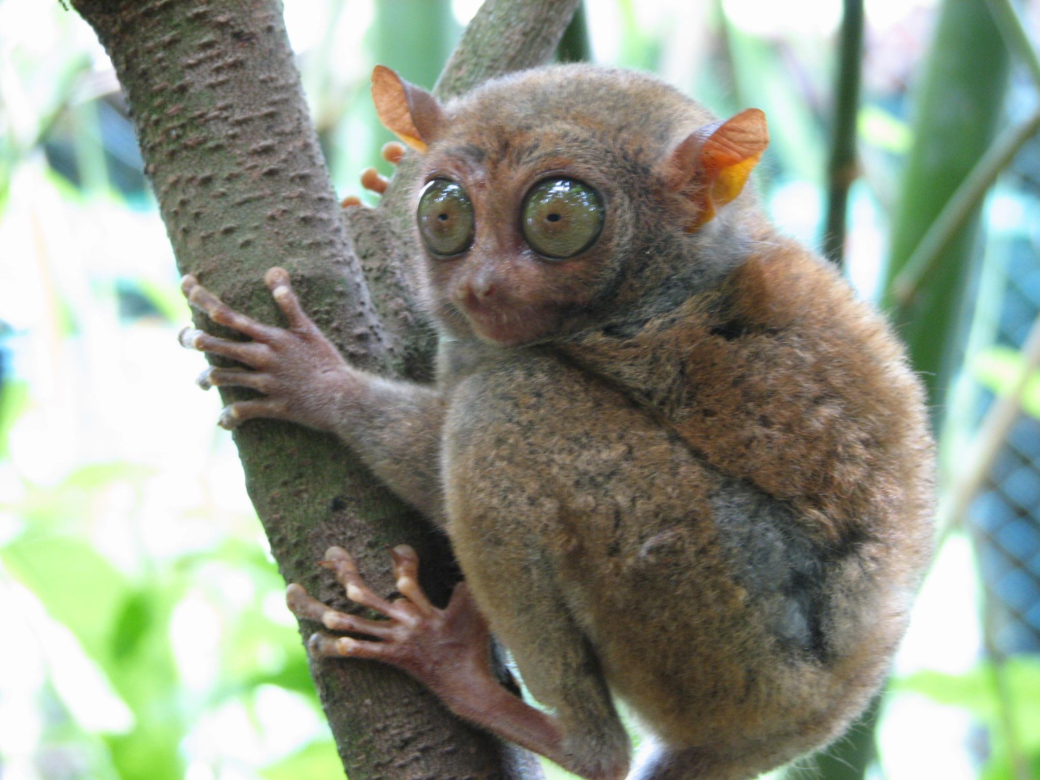 tarsier smallest primates Bohol Philppines